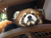 旭山動物園 レッサーパンダ