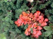 立山 チングルマ紅葉