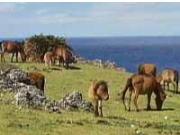 与那国島 野生馬